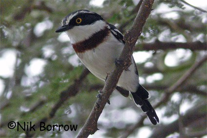 Black-headed Batis seen well during the Birdquest Ethiopia 2006 tour