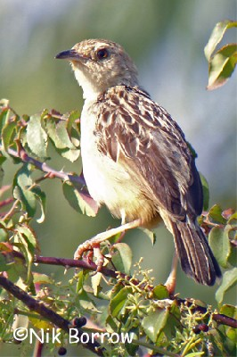 Stout Cisticola seen well during the Birdquest Ethiopia 2006 tour