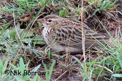 Somali Short-toed Lark seen well during the Birdquest Ethiopia 2006 tour