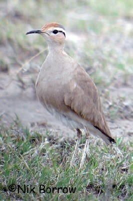 Somali Courser seen well during the Birdquest Ethiopia 2006 tour