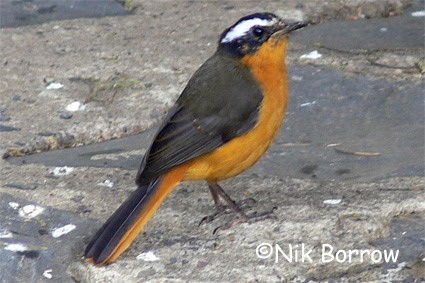 Ruppell's Robin-Chat seen well during the Birdquest Ethiopia 2006 tour