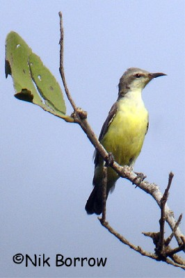 Nile Valley Sunbird seen well during the Birdquest Ethiopia 2006 tour