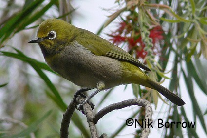 Montane White-eye seen well during the Birdquest Ethiopia 2006 tour