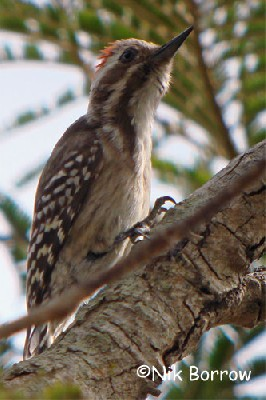 Brown-backed Woodpecker