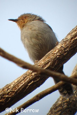 Bamenda Apalis seen well during the Birdquest Cameroon 2007 tour