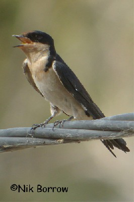 Ethiopian Swallow seen well during the Birdquest Cameroon 2007 tour