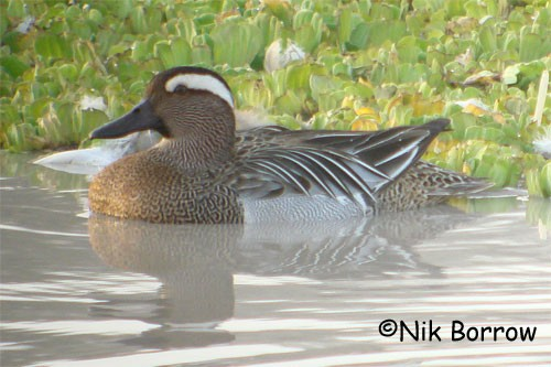 Garganey seen well during the Birdquest Cameroon 2007 tour