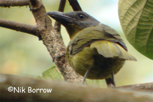 Green-breasted Bush-Shrike