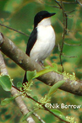 Shrike-Flycatcher seen well during the Birdquest Forests of Cameroon 2007 tour