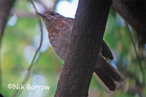 Spotted Thrush-Babbler