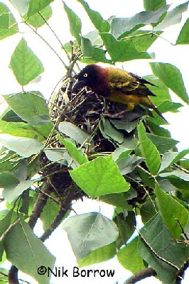 Giant Weaver building its 'football-sized' nest