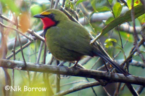 Perrin's Bush-shrike sometimes treated as a separate species from Gorgeous Bush-shrike