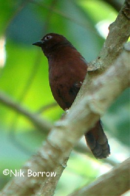 Chestnut-breasted Negrofinch