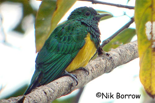 African Emerald Cuckoo - the race insularum