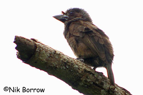 Grey-throated Barbet - the dark-eyed nominate race