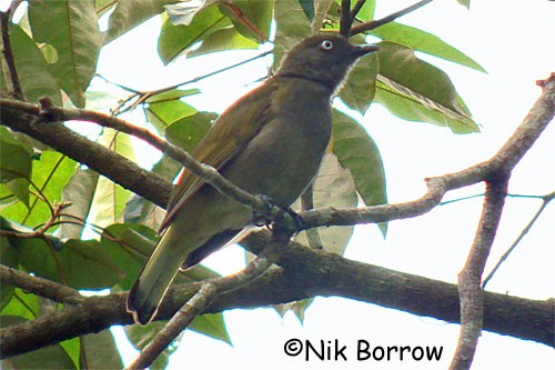Honeyguide Greenbul