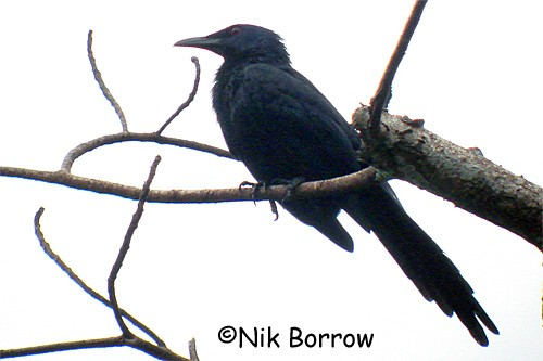 Forest Chestnut-winged Starling - the very large nominate race
