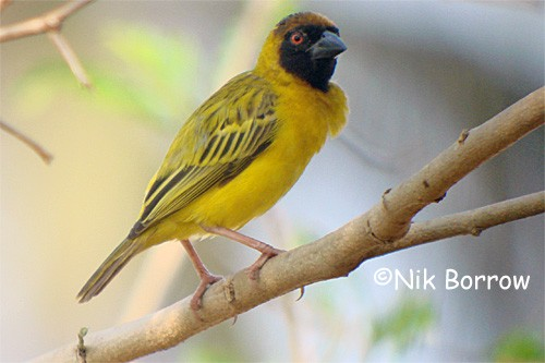 Southern Masked Weaver - the race peixotoi