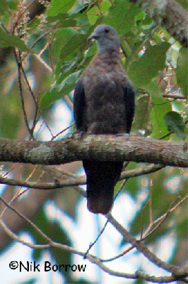 Western Bronze-naped Pigeon