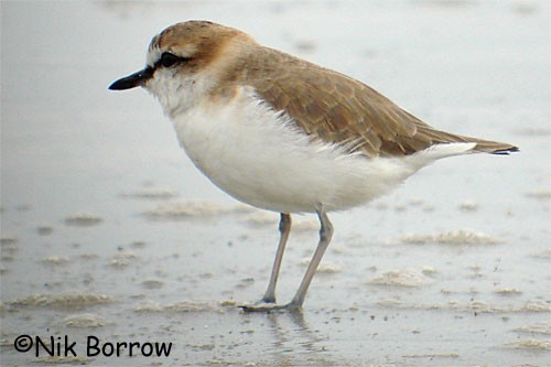 White-fronted Plover - the race mechowi
