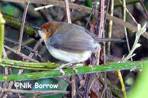 African Tailorbird aka Red-capped Forest Warbler