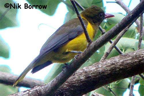 Green-headed Oriole