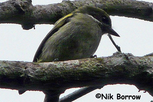 Moustached Green Tinkerbird