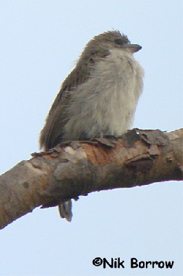 Apparently a Pallid Honeyguide but somewhat away from its 'normal' range