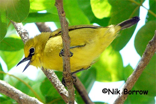 Pemba White-eye