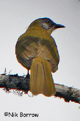 Sometimes split as Stripe-faced Greenbul A. striifacies