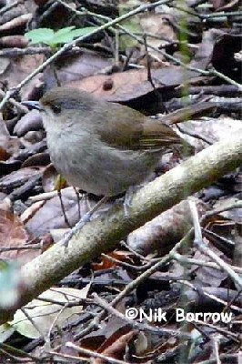aka Usambara Ground Robin