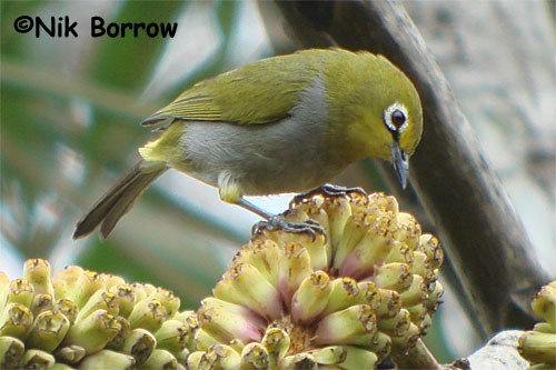 South Pare White-eye