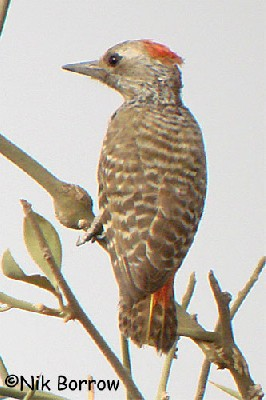 Little Grey Woodpecker