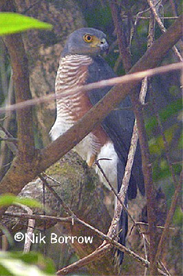 Red-chested Goshawk race macroscelides