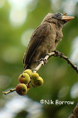Bristle-nosed Barbet