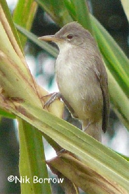 Greater Swamp Warbler