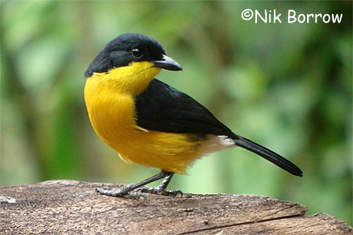 Yellow-breasted Boubou