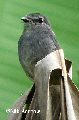 Dusky-blue Flycatcher the race aximensis