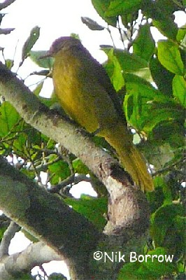 Golden Greenbul