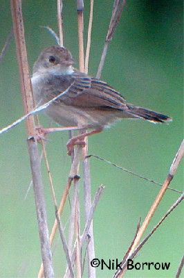 aka Shortwing Cisticola