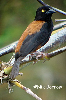 Vielliot's Black Weaver the race castaneofuscus