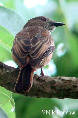 African Shrike Flycatcher