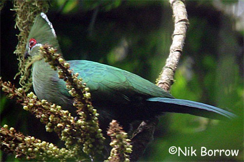 Black-billed Turaco