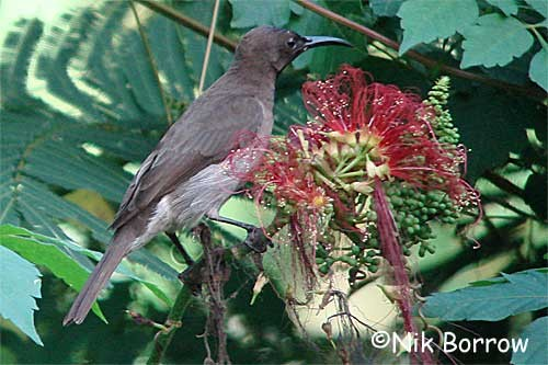 Blue-throated Brown Sunbird