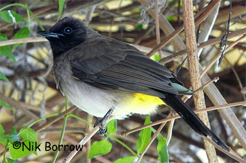 the race tricolor sometimes split as Dark-capped Bulbul
