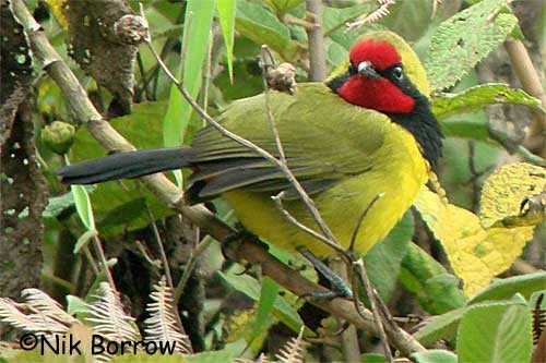 Doherty's Bush-shrike