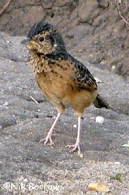 Flappet Lark the race kawirondensis