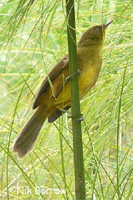 Papyrus Yellow Warbler the nominate race