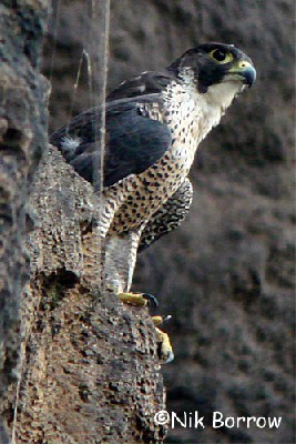 Peregrine Falcon the race minor
