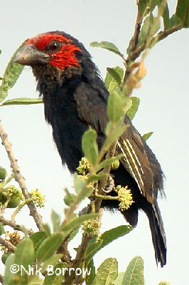 Red-faced Barbet